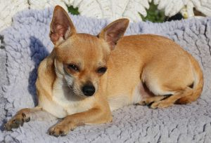 Chihuahua de cabeza venado imágenes fotos