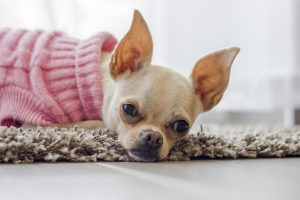 Cuándo a un Chihuahua se le paran las orejas tiene fácil solución