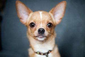 Correas de Chihuahuas aptas para todas las medidas