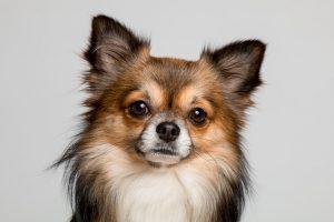 Chihuahua pelo largo negro y marrón