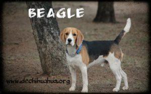 raza de perro beagle cachorro