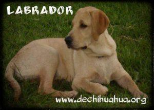 Perro Labrador, toda la información y sus cuidados
