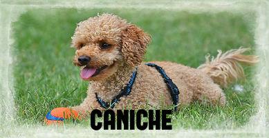 Raza de perro Caniche, toda su información.