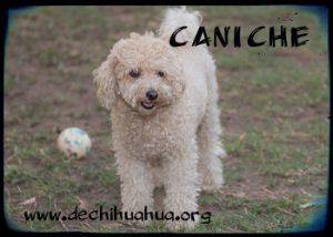 Raza de perro pequeño, el Caniche