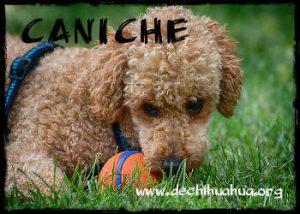 Raza de perro Caniche y toda la información