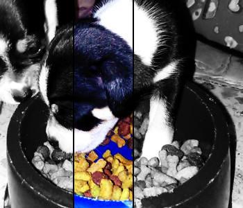 Cachorro de Chihuahua comiendo