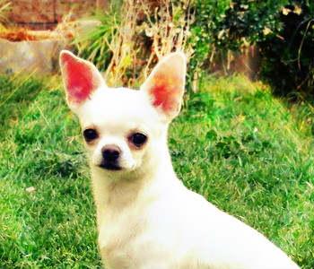 Chihuahua cabeza de manzana de color blanco