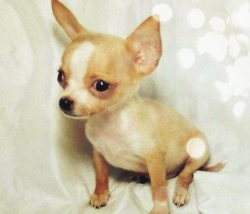 Chihuahua cabeza de manzana de color marrón y blanco