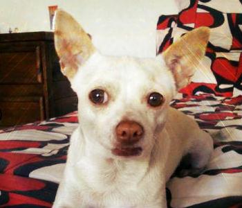 Chihuahua-cabeza-venado-blanco