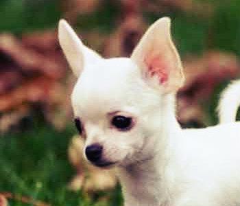 Chihuahua cabeza de venado cachorro blanco