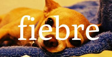 Chihuahua con fiebre