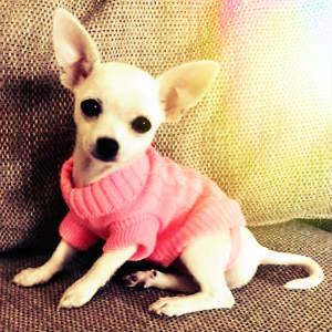 Chihuahua blanco con ropa de camisón rosa