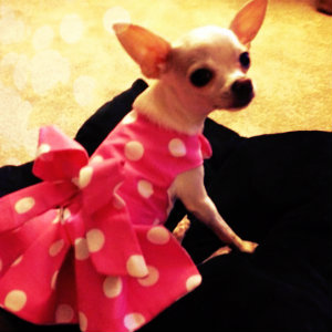 Chihuahua con un vestido de topos blanco y rosa