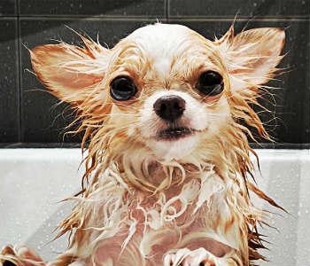 Bañar a un Chihuahua en la ducha