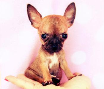 Chihuahua toy de color marrón