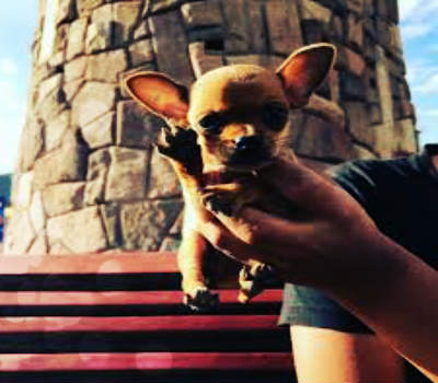 Chihuahua toy negro saludando