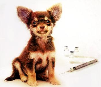 Vacunar a un Chihuahua