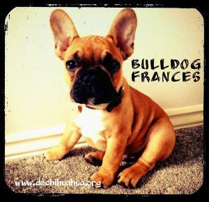 Perro raza Bulldog francés cachorro de color marrón y morro oscuro