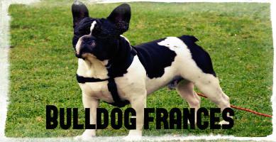 Raza de perro Bulldog francés de color blanco negro