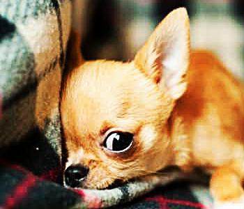 Chihuahua cabeza de manzana cachorro