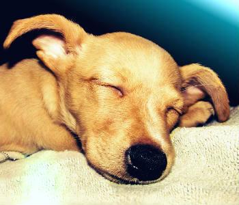 Chihuahua cabeza venado marrón durmiendo