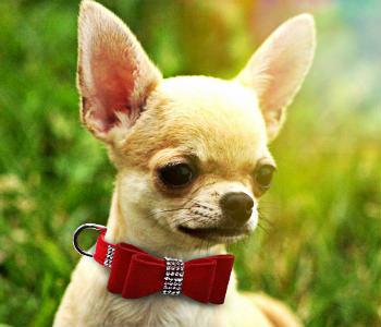Chihuahua con collar apretado, produce rozaduras