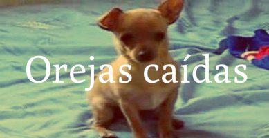 Chihuahua con la oreja caída
