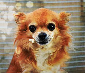Chihuahua de pelo largo marrón
