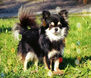 Chihuahua de pelo largo negro blanco