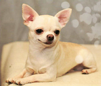 Chihuahua de pelo corto de color blanco