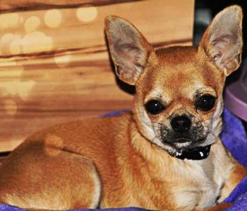 Chihuahua de pelo corto de color marrón