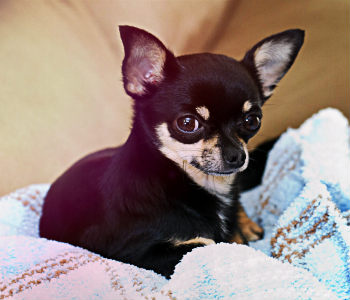 Chihuahua de pelo corto de color negro
