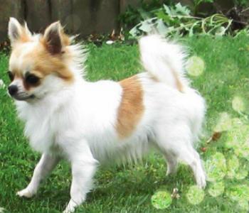 Chihuahua de pelo largo blanco marrón