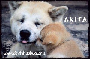 Padre e hijo de raza de perro Akita