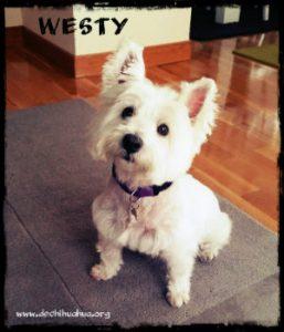 Perro de la raza Westy sentado en casa de color blanco