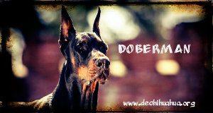 Dóberman raza de perro peligrosa morro marrón
