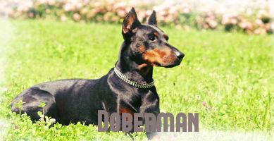Perro raza Dóberman potencialmente peligrosa sentado en el césped