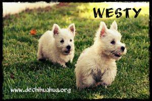 Dos perros pequeños Westy blancos corriendo en césped
