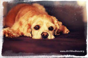 Perro enfermo con diarrea, preparadoo para una dieta blanda para perros
