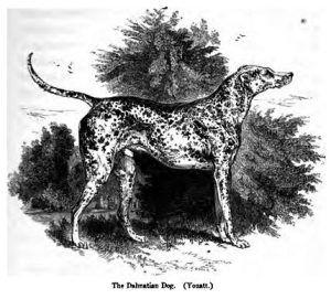 Pintura de un Dámata en blanco y negro del año 1859, aquí se demuestra que ya existian