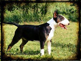 Perro de raza Bull Terrier, cachorro de color blanco y negro de pie en un campo verde
