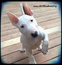 Raza de perro Bull Terrier mini cachorro de color blanco