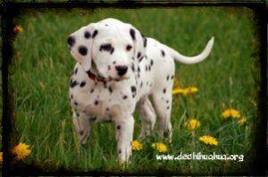 Cachorro de perro mediana de raza Dálmata