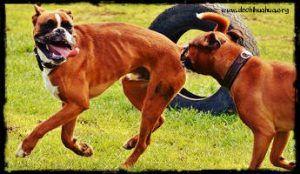 Razas de perro bóxer jugando juntos de color marrón