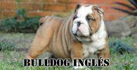 Bulldog Inglés marrón y blanco de pie