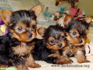 perros de raza toy yorkshire color marrón negro cachorros
