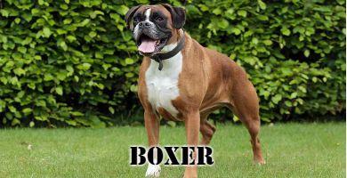 Raza de perro boxer marron con el cuello blanco
