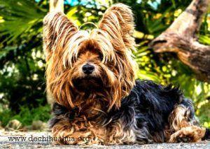 Perro de raza Toy, Yorkshirse terrier color marron negro de pelo largo