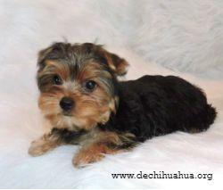 Estirado perro de raza Yorkshire toy negro con morro y patas marrones