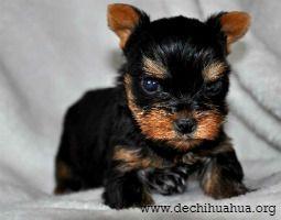 Raza de perro Yorkshire Terrier Toy cachorro negro y marrón